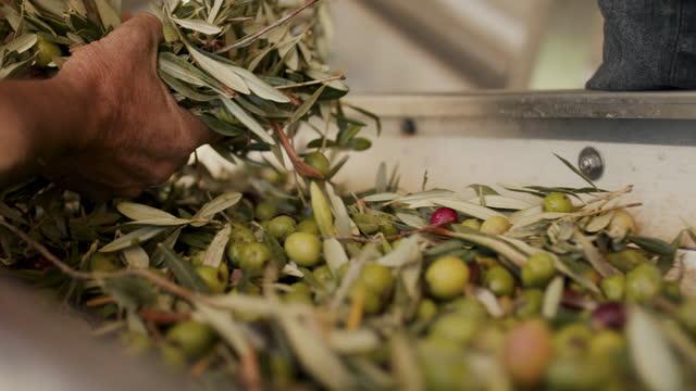 vídeos de stock, filmes e b-roll de man sorting olives at conveyor belt - ramo parte de uma planta