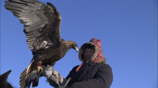 man takes hood off of golden eagle (aquila chrysaetos) and releases it, jiakuerte, china - einzelner senior stock-videos und b-roll-filmmaterial