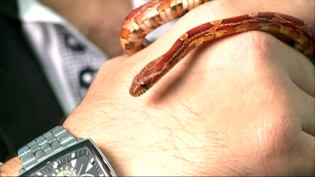 man takes snake on flight from israel to luton airport; england: london: int cornsnake 'milky' lying in snake container / adam gubbay holding milky... - sleeve stock videos & royalty-free footage