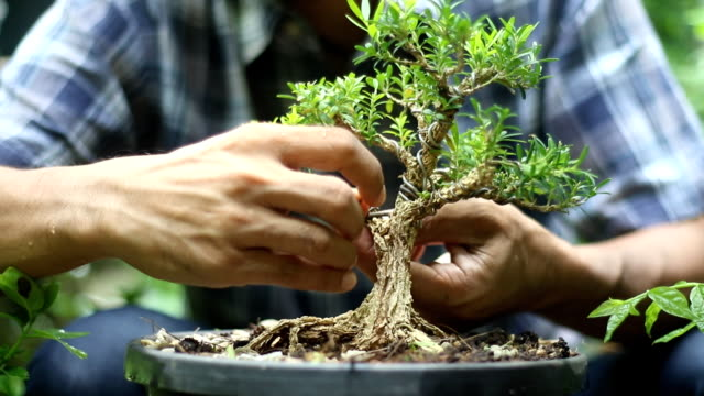 man taking care of a bonsai - adults only stock videos & royalty-free footage