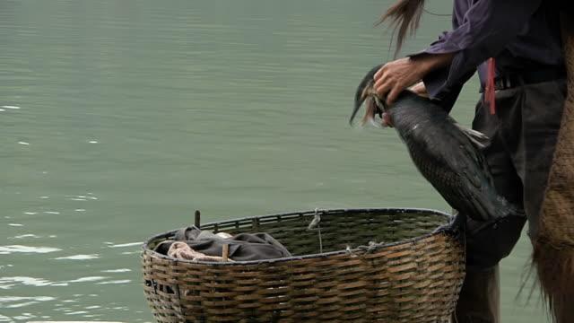 vídeos de stock, filmes e b-roll de cu man taking off fish from birds mouth / close to li river, guangxi, china - grupo mediano de animales