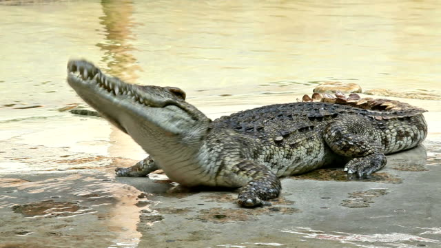 man tease crocodile