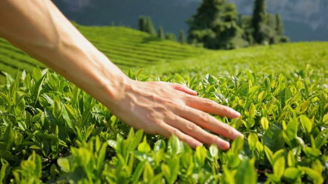 man touching tea leaf - tea crop stock videos & royalty-free footage