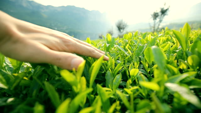 man touching tea leaf - plantation stock videos & royalty-free footage