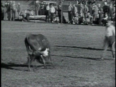 1946 TS man trying to pull a bull to the ground by the horns / Los Angeles, California, United States