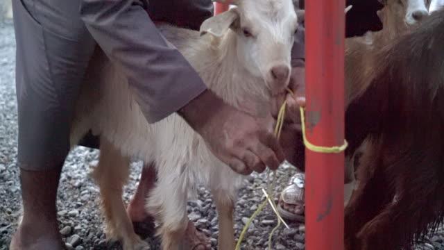 MS Man tying a goat on a livestock market in Oman