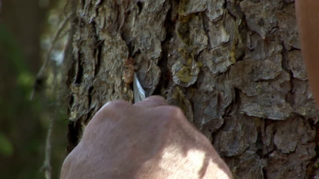 a man uses a knife to remove an insect from a tree trunk. - penknife stock videos & royalty-free footage