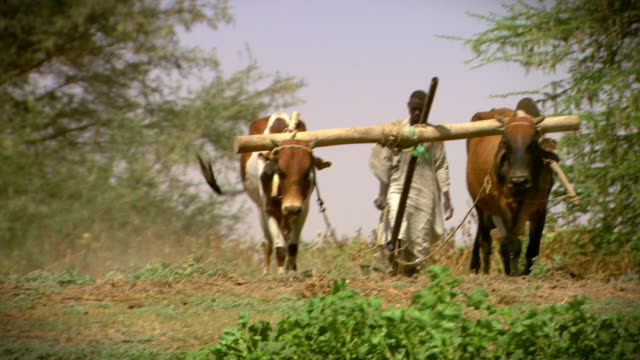 vídeos de stock, filmes e b-roll de a man uses cows to plough crops planted on a riverbank near khartoum.  - sudão