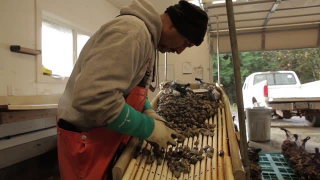vídeos de stock e filmes b-roll de man uses hose to clean oysters at oyster farm hatchery - acidificação dos oceanos