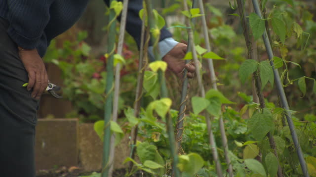 a man uses secateurs to prune beanstalks growing up a frame in a uk allotment. - secateurs stock videos & royalty-free footage