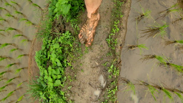 man walking barefoot through the paddy rice field - barefoot stock videos & royalty-free footage