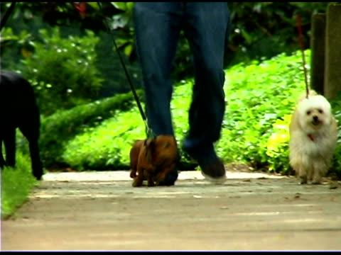 man walking dogs in park - kleine gruppe von tieren stock-videos und b-roll-filmmaterial