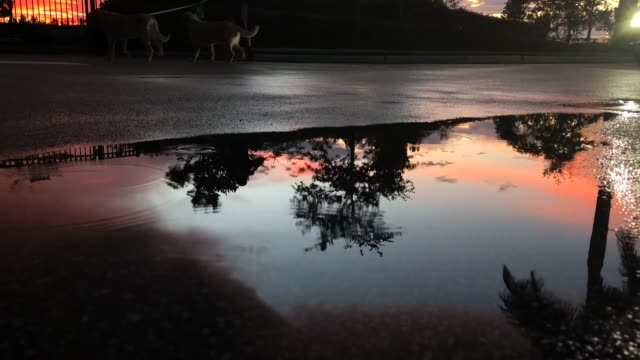 man walking dogs in wet street at sunset - puddle stock videos & royalty-free footage