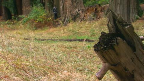 man walking in forest in yosemite national park / california, usa - baumstumpf stock-videos und b-roll-filmmaterial