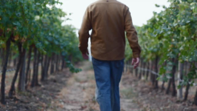 ws tu man walking in row in vineyard while inspecting vines and soil / zillah, washington, usa - weinberg stock-videos und b-roll-filmmaterial