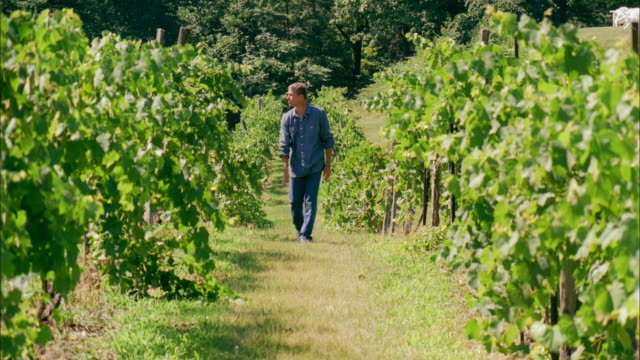 MS, Man walking in vineyard, Marlboro, New York State, USA