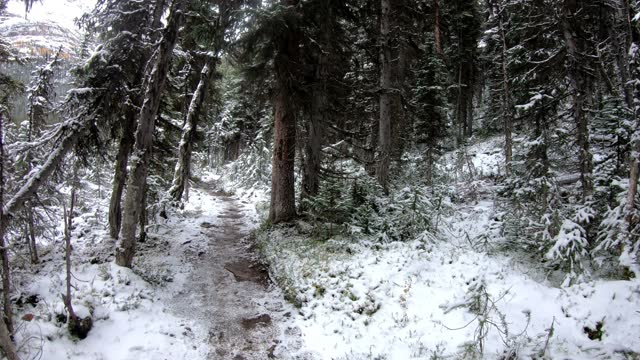 man walking on hiking trail in snow pine forest on winter at yoho national park, canada - animals in the wild stock videos & royalty-free footage
