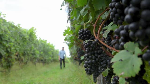 vídeos y material grabado en eventos de stock de man walking through vineyard - uva