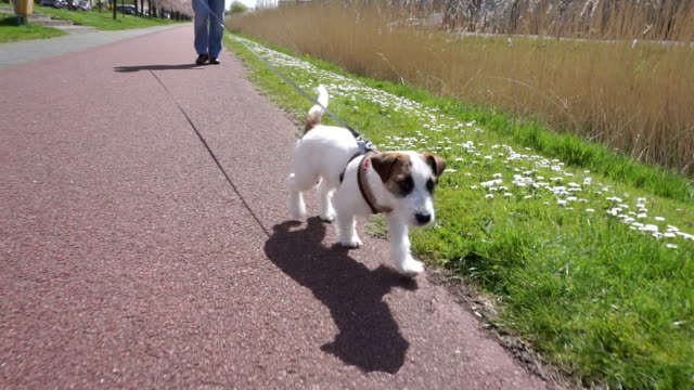 uomo che cammina con il cane in strada - jack russel video stock e b–roll