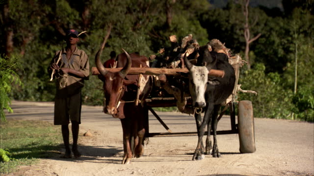 A man walks alongside oxen pulling a cart loaded with wood in Madagascar. Available in HD.