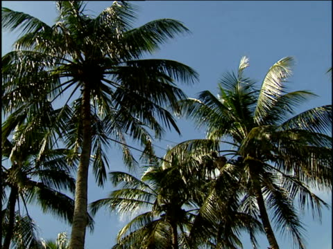 Man walks on tight-rope between two coconut trees swaying gently against bright blue sky Negombo