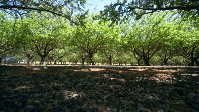 A man walks past rows of almond trees at a Select Harvest Ltd farm near Wemen Victoria Australia on Wednesday Sept 23 A sprayer disperses oilbased...