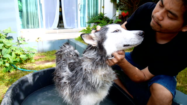 Man washing dog in garden. A Siberian Husky was cleaned by owner