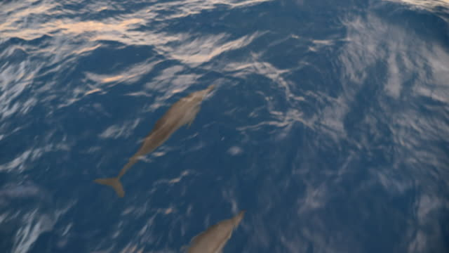 a man watches a pod of dolphins swimming off the bow of a sailboat boat sailing. - slow motion - cetacea bildbanksvideor och videomaterial från bakom kulisserna