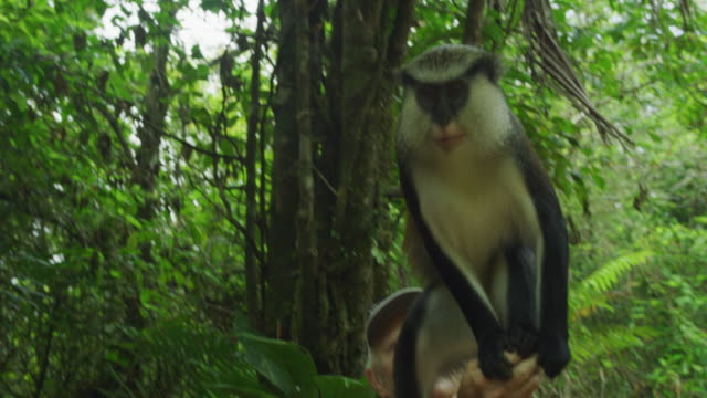 man watching monkey balance on arm of woman in jungle / grand etang national park, grenada - mature couple stock videos & royalty-free footage