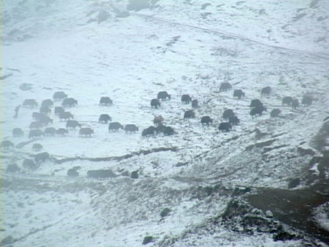ws, ha, man with herd of yaks (bos grunniens) in snow capped mountains, tibet, china - medium group of animals stock videos & royalty-free footage