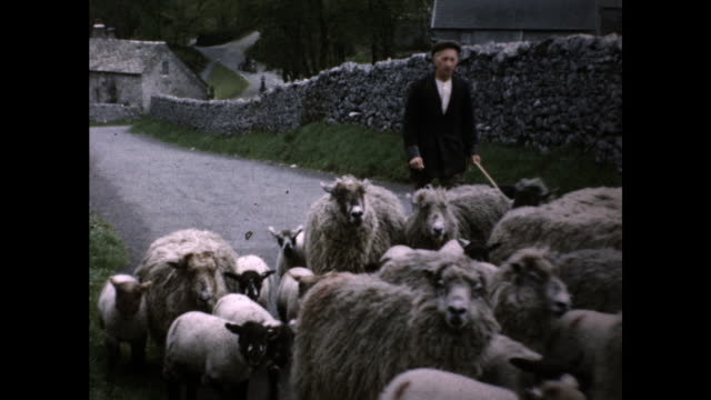 man with long pole and german shepherd dog herding herd of sheep on the road; houses and. trees in the background - herding stock videos & royalty-free footage