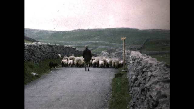 man with long pole and german shepherd dog herding herd of sheep on the road toward the green grazing fields - grazing stock videos & royalty-free footage