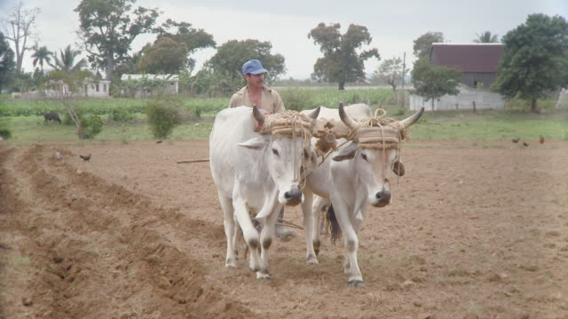 WS PAN Man with oxen plowing field / Pinar del Rio, Cuba