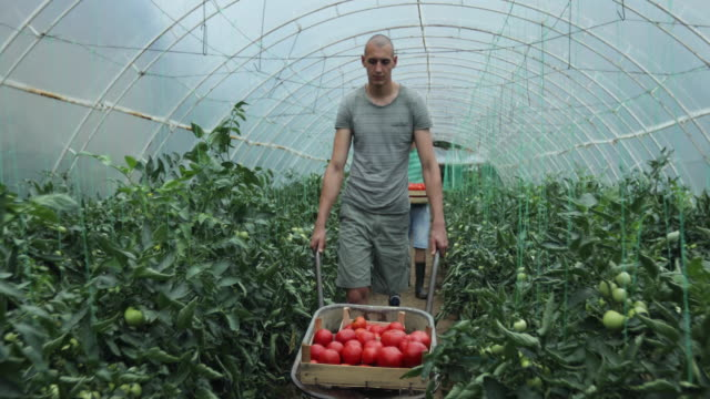 Man with prosthetic leg pushing a cart with tomatoes