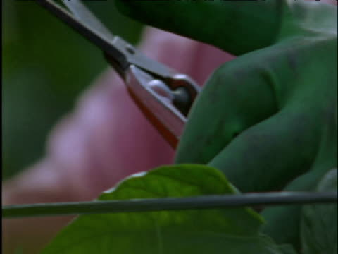 man with secateurs tends to pepper crop in greenhouse spain - secateurs stock videos & royalty-free footage