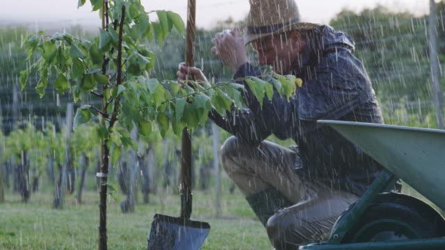 vídeos de stock e filmes b-roll de ms man with shovel planting fruit tree in rainy orchard - pomar