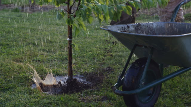 ms man with wheelbarrow shoveling dirt over planted fruit tree in rain - spade stock videos & royalty-free footage