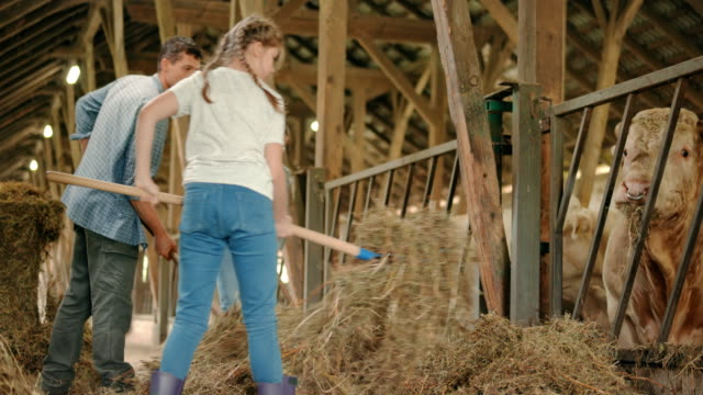 Man, woman and their daughter pitching hay to the cattle in the barn