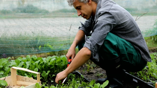 man working in organic vegetable farm - only mature men stock videos & royalty-free footage