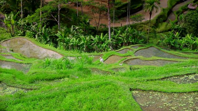 MS Man working in rice paddies at Tegallalang / Kediri, Bali, Indonesia