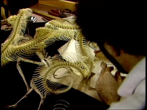 man working on snake skeleton - tierisches skelett stock-videos und b-roll-filmmaterial