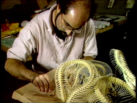 man working on taxidermy of snake skeleton - stuffed stock videos & royalty-free footage