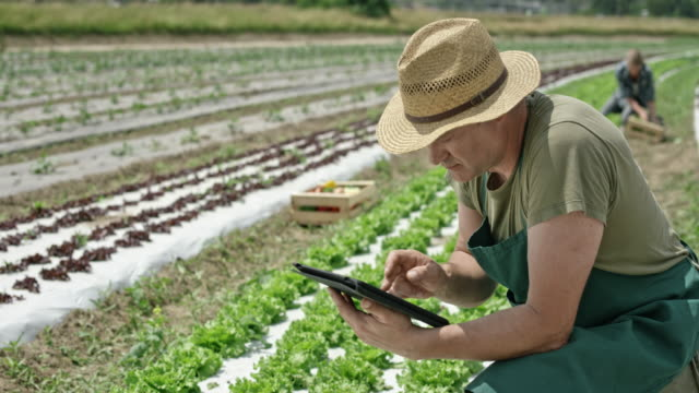 Man working with the use of a digital tablet in the lettuce field
