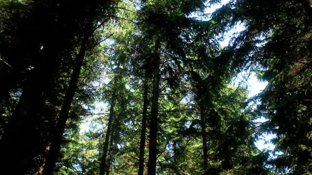 vídeos de stock e filmes b-roll de managed spruce forest - abeto