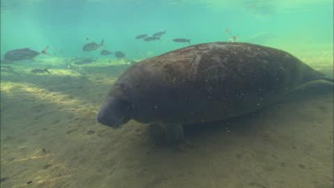 manatee across bottom, crosses camera, florida, north atlantic ocean  - aquatic organism stock videos & royalty-free footage