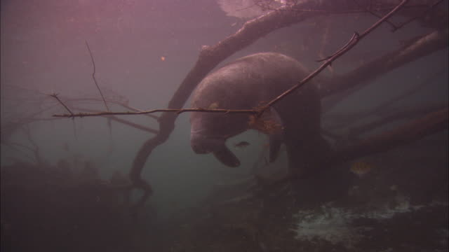 manatee among branches, hanging out, florida, north atlantic ocean  - lamantino video stock e b–roll
