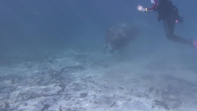 Peixe-boi e Snorkeler