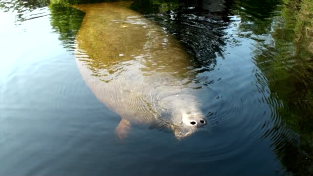Manatee approaches canoe, surfaces, takes a deep breath of air