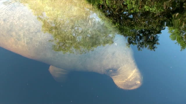 Manatee approaches canoe turns displaying her arms and blinks eye