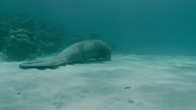 manatee awaits striped parrotfish at cleaning station, belize - rundschwanzseekuh stock-videos und b-roll-filmmaterial